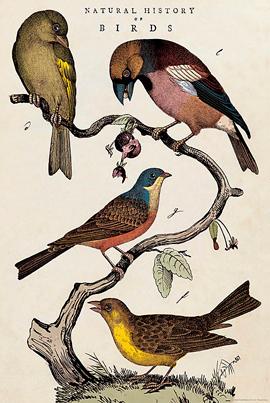 CA Fugle