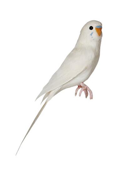 Kanariefugl-hvid-fra-Puebco
